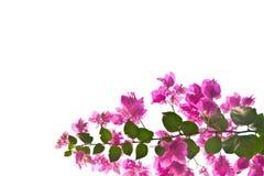 ροζ λουλουδιών bougainvillea Στοκ Εικόνες