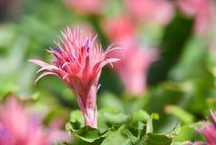 Ροζ λουλουδιών Bromeliad Στοκ φωτογραφία με δικαίωμα ελεύθερης χρήσης