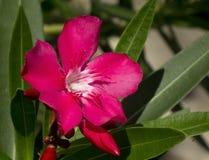 ροζ λουλουδιών oleander Στοκ φωτογραφίες με δικαίωμα ελεύθερης χρήσης