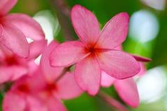 Ροζ λουλουδιών Plumeria, η ομορφότερη άνθιση λουλουδιών plumeria Στοκ Φωτογραφία