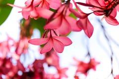 Ροζ λουλουδιών Plumeria, η ομορφότερη άνθιση λουλουδιών plumeria Στοκ Εικόνες