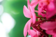 Ροζ λουλουδιών Plumeria, η ομορφότερη άνθιση λουλουδιών plumeria Στοκ Εικόνα