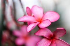 Ροζ λουλουδιών Plumeria, η ομορφότερη άνθιση λουλουδιών plumeria Στοκ εικόνες με δικαίωμα ελεύθερης χρήσης