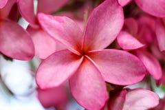 Ροζ λουλουδιών Plumeria, η ομορφότερη άνθιση λουλουδιών plumeria Στοκ Φωτογραφίες