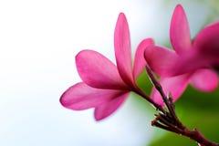 Ροζ λουλουδιών Plumeria, η ομορφότερη άνθιση λουλουδιών plumeria Στοκ φωτογραφίες με δικαίωμα ελεύθερης χρήσης