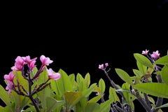 Ροζ λουλουδιών Plumeria στο άσπρο υπόβαθρο Στοκ Εικόνα