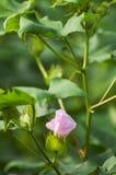 ροζ λουλουδιών βαμβακιού Στοκ Εικόνες