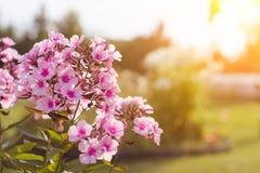 Ροζ, λουλούδια κήπων με το φως του ήλιου κλείστε επάνω Στοκ Φωτογραφίες