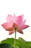 ροζ λωτού λουλουδιών ανθών Στοκ εικόνες με δικαίωμα ελεύθερης χρήσης