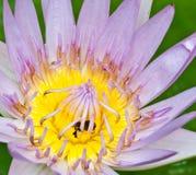 ροζ λωτού μελισσών Στοκ Εικόνες