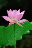 ροζ λωτού στοκ φωτογραφία