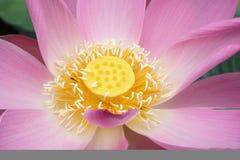 ροζ λωτού Στοκ Φωτογραφίες