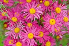 ροζ μαργαριτών Στοκ Φωτογραφίες