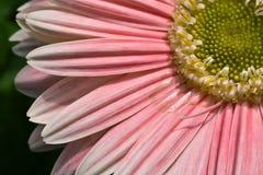 ροζ μαργαριτών Στοκ φωτογραφίες με δικαίωμα ελεύθερης χρήσης