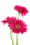 ροζ μαργαριτών gerber Στοκ Φωτογραφία