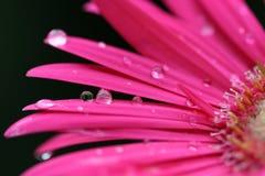 ροζ μαργαριτών gerber Στοκ εικόνα με δικαίωμα ελεύθερης χρήσης