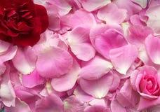 Ροζ με τα πέταλα, γενέθλια, birthdauy στοκ εικόνες