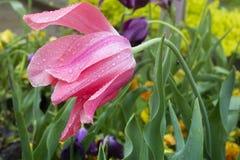 Ροζ με τις πτώσεις βροχής Στοκ Εικόνες
