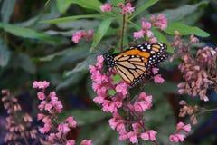 ροζ μοναρχών λουλουδιών πεταλούδων Στοκ εικόνα με δικαίωμα ελεύθερης χρήσης