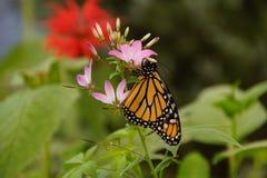 ροζ μοναρχών λουλουδιών πεταλούδων Στοκ Εικόνες