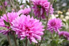 ροζ νταλιών Στοκ Φωτογραφίες