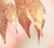 ροζ ορκιστείτε Στοκ Εικόνες