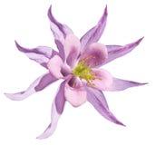 Ροζ λουλουδιών Απομονωμένος σε μια άσπρη ανασκόπηση με το ψαλίδισμα του μονοπατιού Καμία σκιά closeup Όμορφα ανοικτό ροζ primrose Στοκ Φωτογραφίες