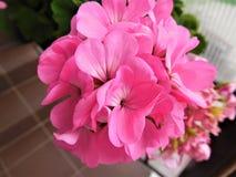 ροζ λουλουδιών κινηματογραφήσεων σε πρώτο πλάνο succulent Στοκ Εικόνες