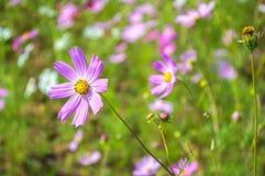 Ροζ λουλουδιών κόσμου στον κήπο με το πράσινο υπόβαθρο Στοκ φωτογραφία με δικαίωμα ελεύθερης χρήσης