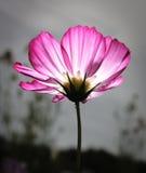 ροζ λουλουδιών κόσμου Στοκ Εικόνα