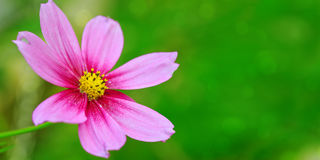 ροζ λουλουδιών κόσμου Στοκ φωτογραφία με δικαίωμα ελεύθερης χρήσης
