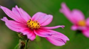 ροζ λουλουδιών κόσμου Στοκ εικόνα με δικαίωμα ελεύθερης χρήσης