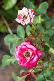 Ροζ λουλουδιών με το φύλλο πράσινο Στοκ Εικόνα