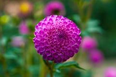 ροζ λουλουδιών νταλιών &k Στοκ Φωτογραφίες