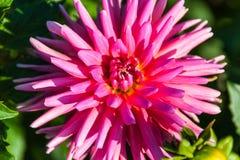 ροζ λουλουδιών νταλιών &k Στοκ φωτογραφίες με δικαίωμα ελεύθερης χρήσης