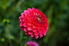 ροζ λουλουδιών νταλιών &k Στοκ Φωτογραφία