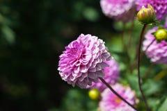 ροζ λουλουδιών νταλιών &k Στοκ Εικόνα