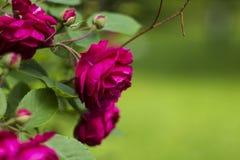Ροζ λουλουδιών τριαντάφυλλων θάμνων στο πράσινο θολωμένο υπόβαθρο Στοκ φωτογραφίες με δικαίωμα ελεύθερης χρήσης