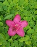 Ροζ λουλουδιών τριφυλλιού Στοκ Εικόνες