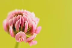 ροζ λουλουδιών τριφυλ Στοκ Εικόνες