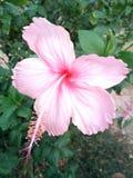 Ροζ λουλουδιών @ Στοκ Εικόνες