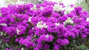 Ροζ λουλουδιών Bougainvillea στο δέντρο Στοκ φωτογραφίες με δικαίωμα ελεύθερης χρήσης