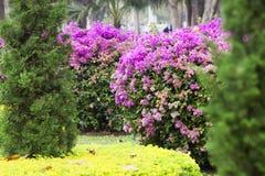 Ροζ λουλουδιών Bougainvillea στο δέντρο Στοκ φωτογραφία με δικαίωμα ελεύθερης χρήσης