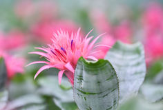 Ροζ λουλουδιών Bromeliad Στοκ φωτογραφίες με δικαίωμα ελεύθερης χρήσης