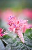 Ροζ λουλουδιών Bromeliad Στοκ Φωτογραφίες