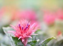 Ροζ λουλουδιών Bromeliad Στοκ Εικόνες