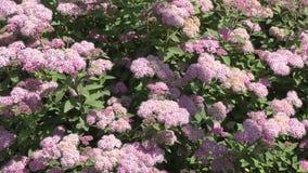 Ροζ λουλουδιών Spirea απόθεμα βίντεο