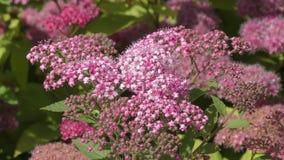 Ροζ λουλουδιών Spirea φιλμ μικρού μήκους