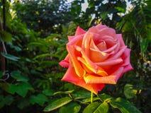 Ροζ λουλούδι κάτω από την κινηματογράφηση σε πρώτο πλάνο ακτίνων ήλιων Στοκ εικόνα με δικαίωμα ελεύθερης χρήσης