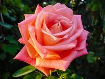 Ροζ λουλούδι κάτω από τις ακτίνες ήλιων Στοκ εικόνα με δικαίωμα ελεύθερης χρήσης